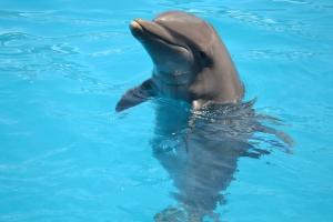 O golfinho é o animal mais sociável do Seaquarium. Sempre se aproxima quando percebe a presença de seus admiradores.